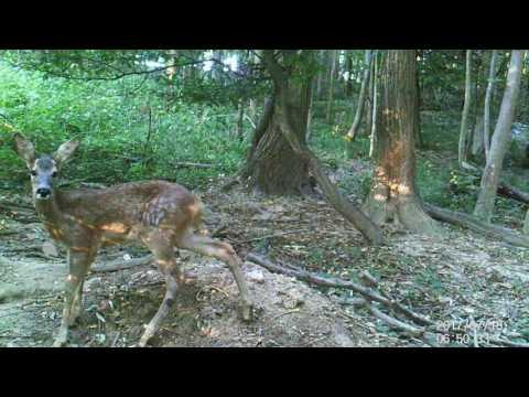 la vie du chevreuil sous les bois