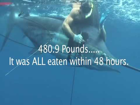 World Record Pacific Blue Marlin speared by Robert Arrington while freediving