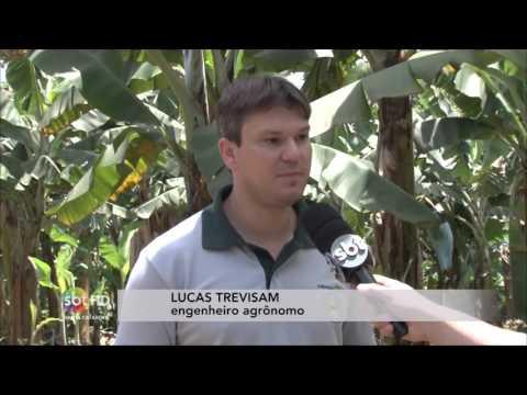Banana produzida em Corupá, no Norte deSC, pode ganhar título de mais doce do Brasil
