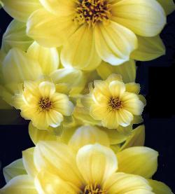 Flores  Tube (1033)