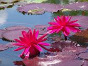 flowersinapond