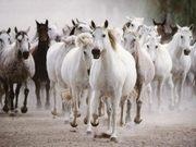 horses gallop.