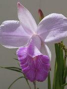 orquidea_bambu_orchidaceae_arundina_bambusifolia