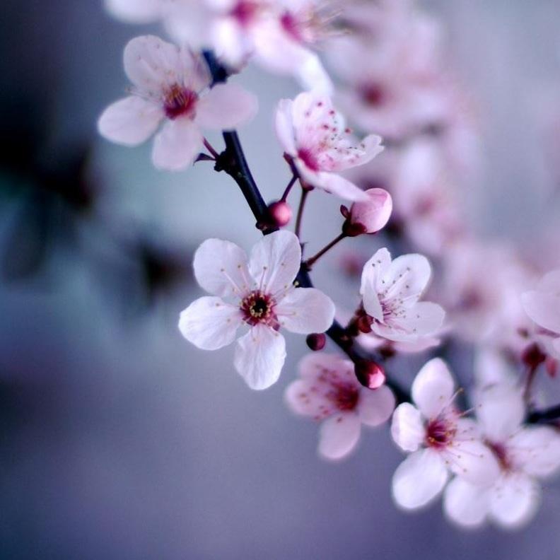 Les Fleurs des Cerisiers