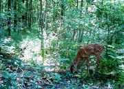 Baby Fawn in Woods