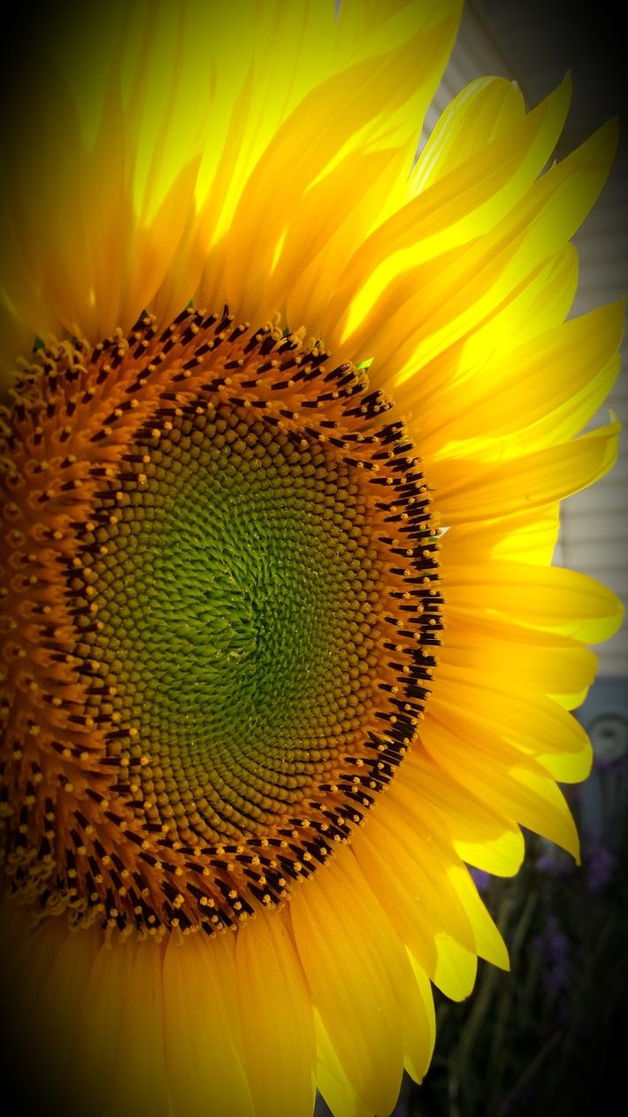 Radiant Sunflower
