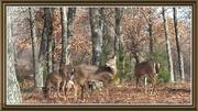 Deer Behind My Cabin