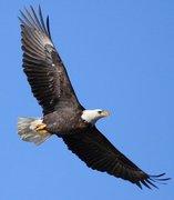 EAGLE PIC