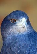 Blue Lunar Eagle
