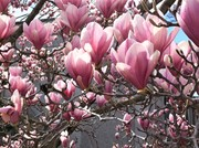 Magnolias 2019