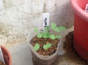 Rosella sprouts