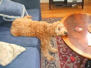 cooper on table & sofa