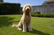 """Home Grooming Using The Book """"Grooming Your Doodle"""" by Elizabeth Meehan"""