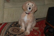 Lacey  as a puppy