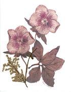 fiori di campo e di giardino - helleborus