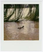 Duck Accordion 2