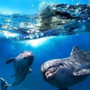 Nager avec les dauphins libres en Egypte - Mer Rouge