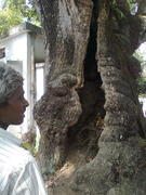 Modhyo  Dwip,Mohaprobhu had made this tree alive by embracing it.