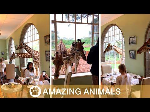 Giraffes Steal Breakfast From Hotel