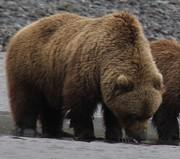 Bear-Viewing-May-2015-042