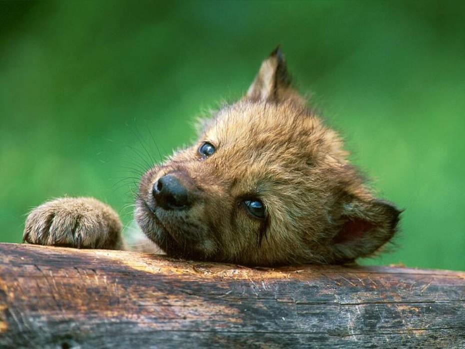 Wolf%20puppy%20near%20den,%20Canada