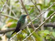 colibri de salvador
