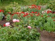 front yard spring 08 volunteer poppies