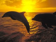 dolphins_at_sunset