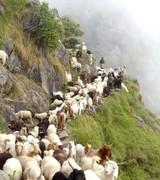 Dharamsala - goats on path