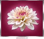 FlowerWhitePink