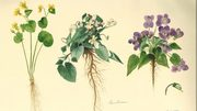 Flori salbatice din Romania. O istorie botanica