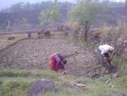 Oxen Plowing in Pokhara, Nepal