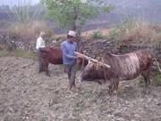 Oxen take a break.