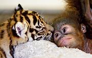 tiger-orang-kiss-lg