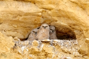 Three Great Horned owlets 4-3-2019