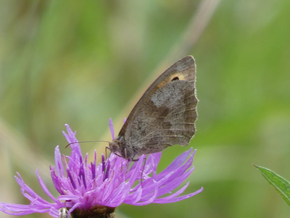 A Meadow Brown butterfly dodging the showers today in the meadow area