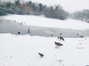 Ducks & Geese on the Semi-frozen pond!