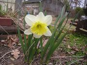 Early Daffodil 3/12/2007