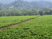 Vineyard Fields Forever