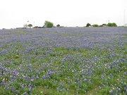 bluebonnet field 4