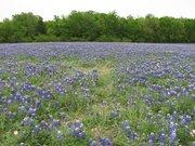 bluebonnet field 2