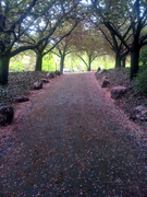Cherry blossoms at the Brooklyn Botanical Gardens - 1