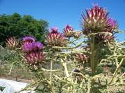 Artichoke Blossoms