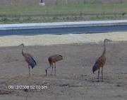 resident standhill cranes