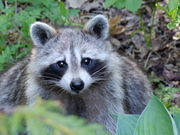 Friendly Racoon