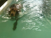 Swimming for us Setters should be in the sea not in a swimmingpool !!!