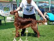 SPECIAL DOG SHOW VII GROUP - LAPOVO 2012. Pointing Dogs -Kerrigan Saturnii Cartoon's (Vicary's Cobacabana & Evenflow Saturnii) - JCAC JBOS JBOB JBIS-3