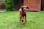 Dexter in garden