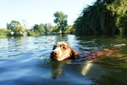 Oliver in the Dronne river, he pacticaly swam in every river he could sniff
