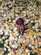Maisie in Autumn leaves